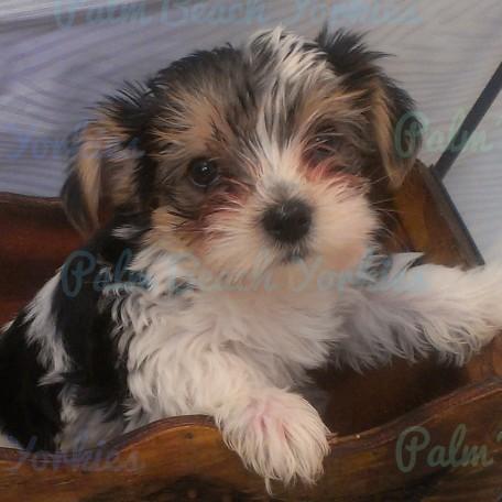 z SOLD! Alex – Palm Beach Yorkies, Parti Yorkie Puppies ...