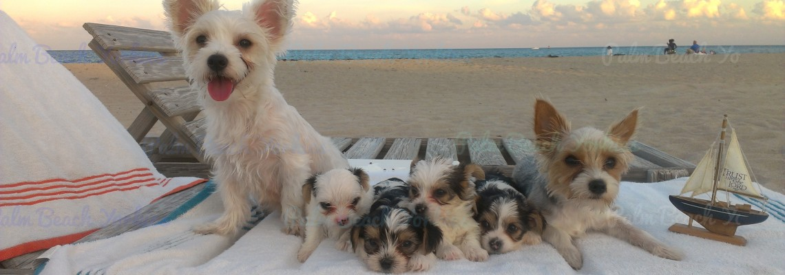 AKC Parti Yorkie Puppy for Sale