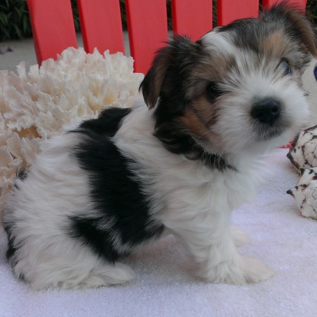 Parti Yorkies for Sale