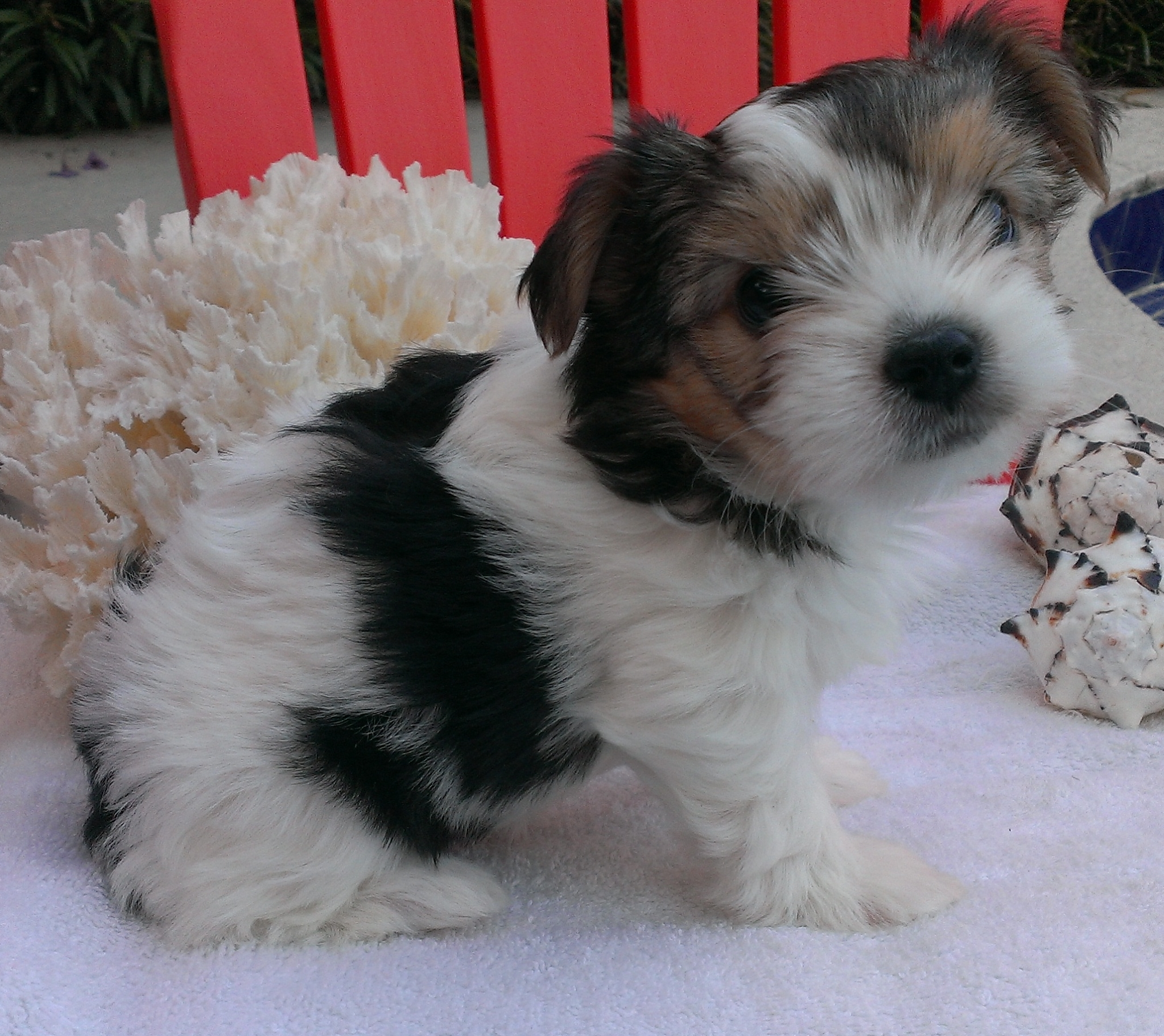 Zdaisy Sold Palm Beach Yorkies Parti Yorkie Puppies