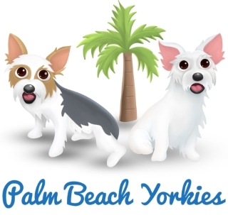 Palm Beach Yorkies, Parti Yorkie Puppies for Sale, AKC Parti Color Yorkshire Terriers for Sale