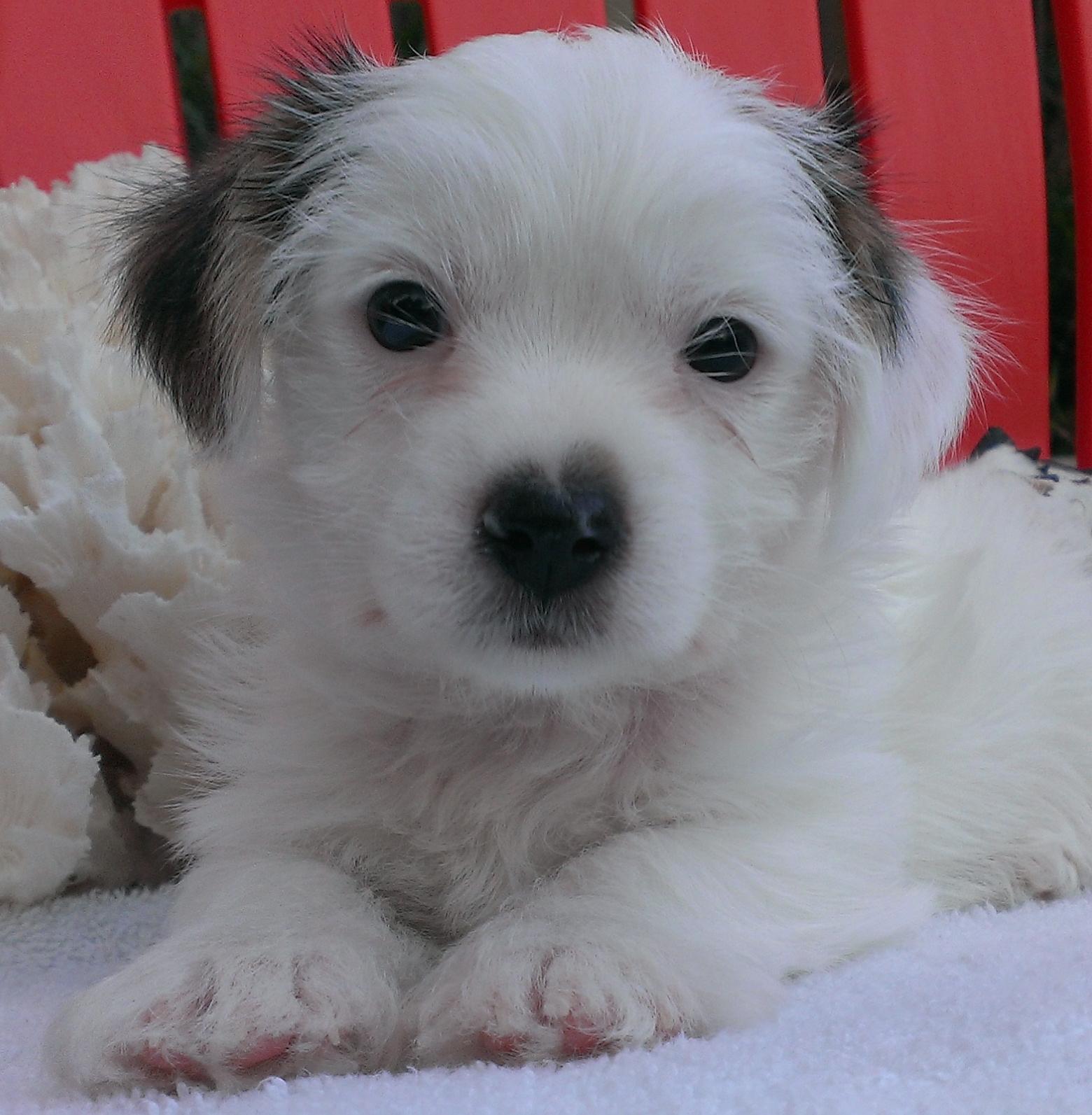 Polar Palm Beach Yorkies Parti Yorkie Puppies For Sale Akc Parti